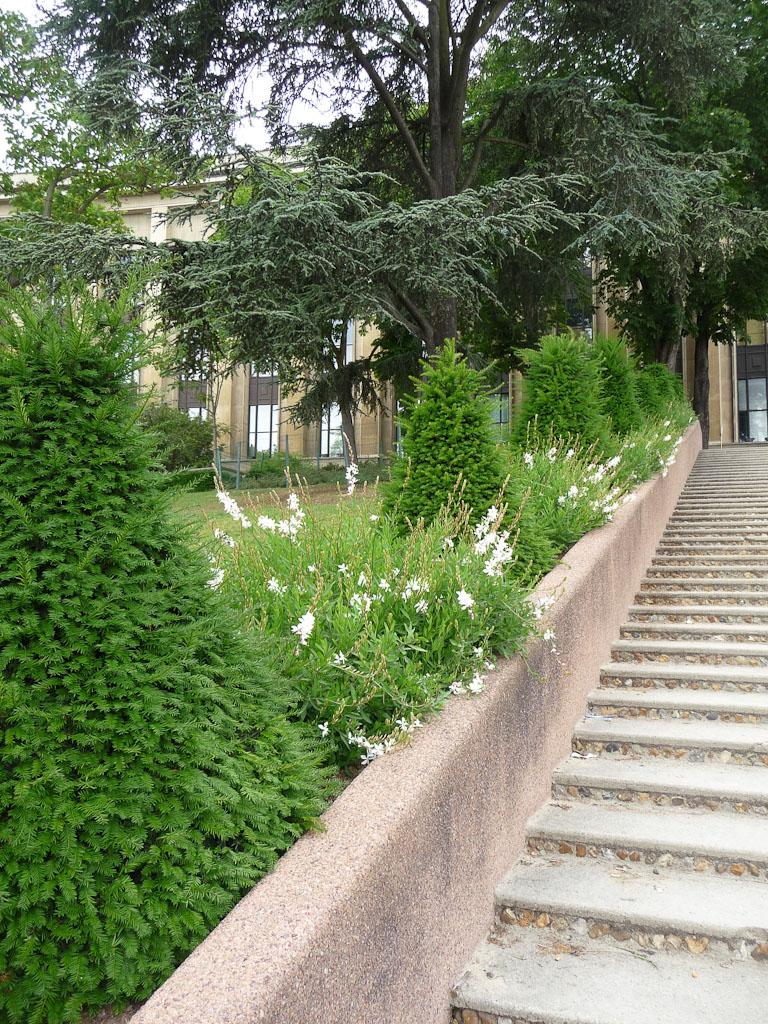 Gauras et cônes d'if dans les jardins du Trocadéro, Paris 16e (75)