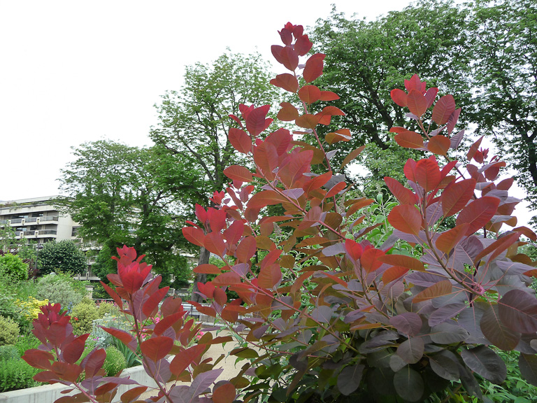 Arbre à perruque (Cotinus) au feuillage rouge pourpre dans les jardins du Trocadéro, Paris 16e (75)