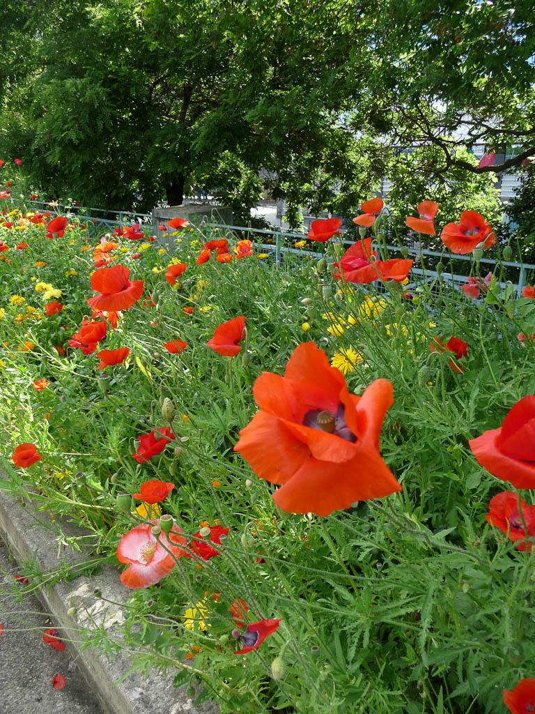 Coquelicots dans un coin de prairie fleurie le long du port et du quai de Grenelle, Paris 15e (75)