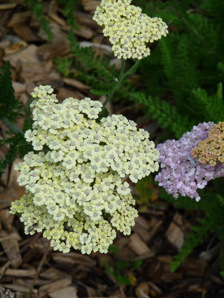 Achillée millefeuille hybride, jardins Abbé Pierre - Grands Moulins, Paris 13e (75)