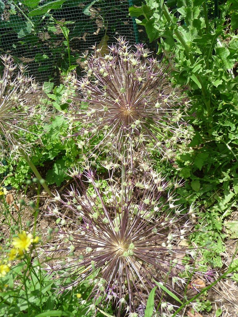 Étoile de Perse (Allium christophii) défleurie, parc de Bercy, Paris 12e (75)