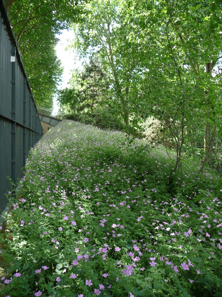Grands tapis de géraniums vivaces sous les arbres dans le parc de Bercy, Paris 12e (75)
