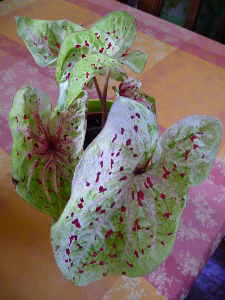 Caladium 'Miss Muffet', Aracées, plante d'intérieur