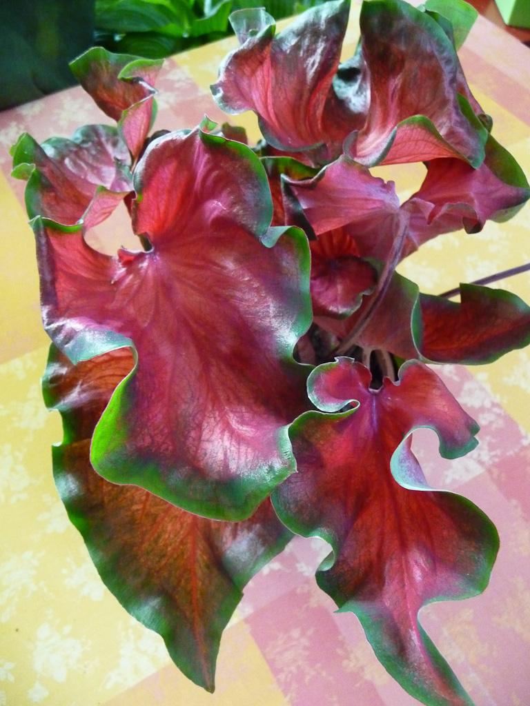 Caladium 'Red Ruffles', Aracées, plante d'intérieur
