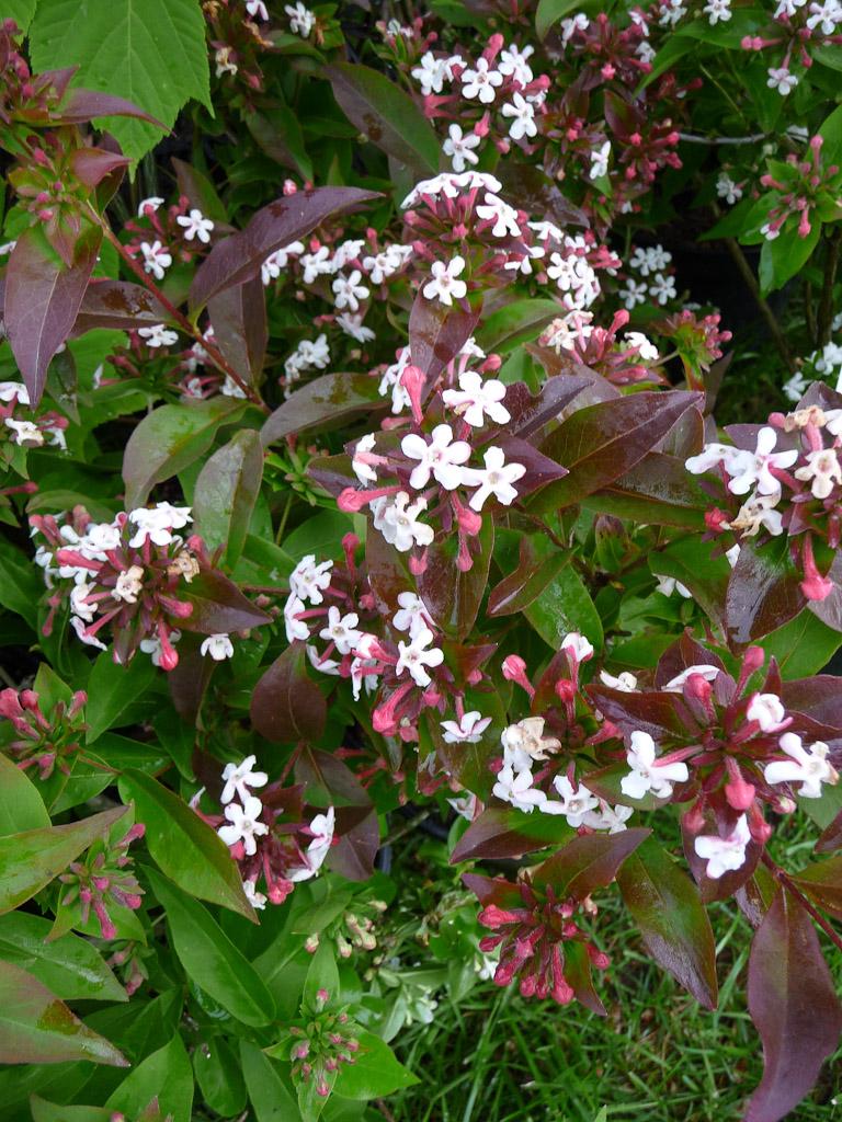 Zabelia mosanensis, Pépinières de la Grée, Journées des Plantes de Courson, Printemps 2012, Domaine de Courson, Courson-Monteloup (Essonne)