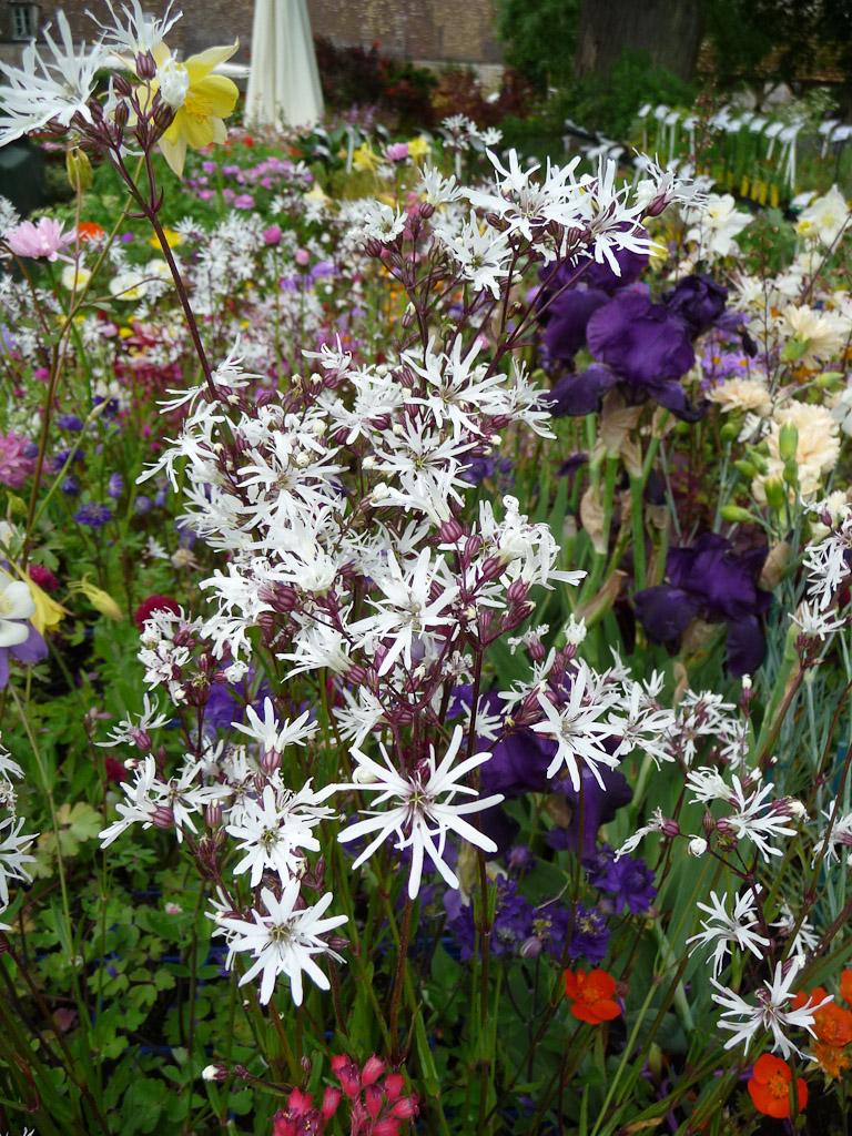 Lychnis flos-cuculi 'White Robin', Journées des Plantes de Courson, Printemps 2012, Domaine de Courson, Courson-Monteloup (Essonne)