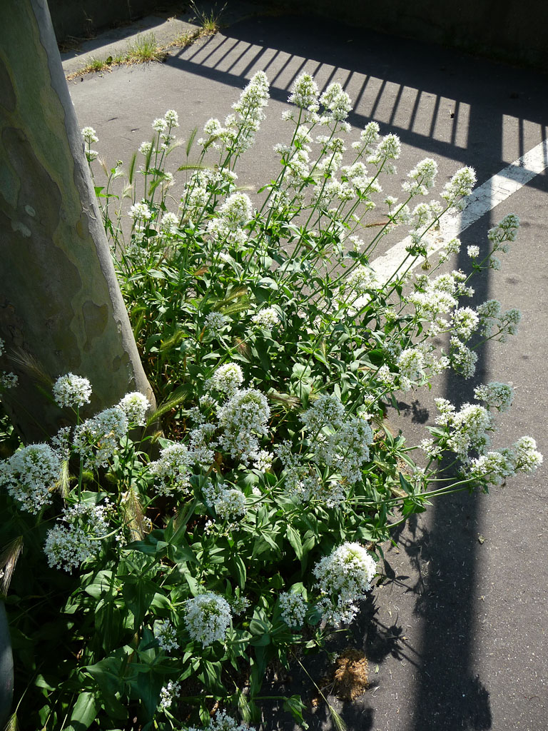 Valériane des jardins à fleurs blanches (Centranthus ruber 'Albus') au pied d'un platane en bord de Seine, Paris 16e (75)