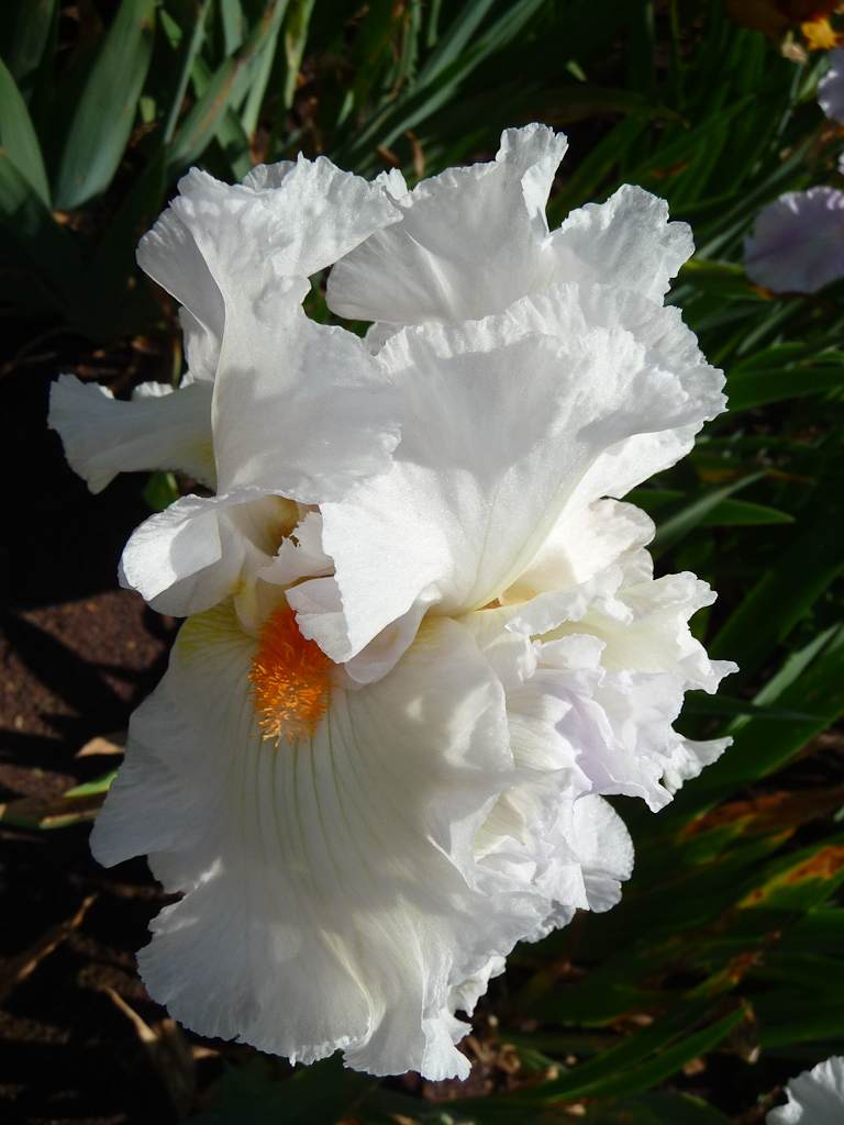 Iris à fleurs blanches, Jardin d'iris dans le parc de Bagatelle, Bois de Boulogne, Paris 16e (75)