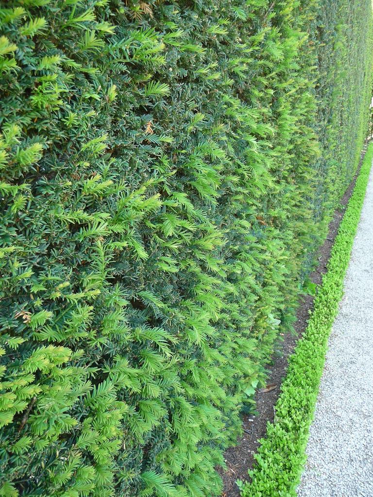 Grande haie d'ifs et petite bordure de buis dans le jardin d'iris du parc de Bagatelle, Bois de Boulogne, Paris 16e (75)
