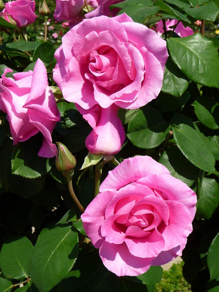 Rose au printemps, 28 mai 2012, photo Alain Delavie
