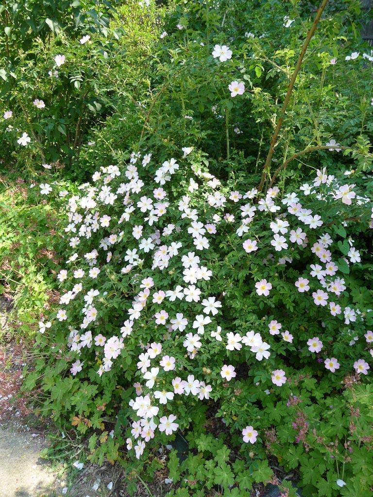 Églantier (Rosa canina) dans le parc de Bagatelle, Bois de Boulogne, Paris 16e (75)