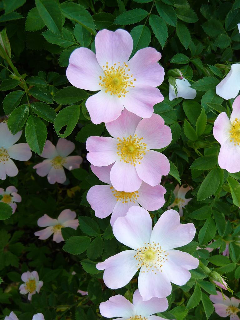 Églantines (Rosa canina), parc de Bagatelle, Bois de Boulogne, Paris 16e (75)