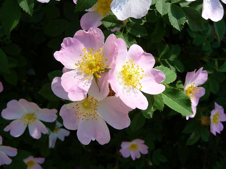 Églantines (Rosa canina) dans le parc de Bagatelle, Bois de Boulogne, Paris 16e (75)