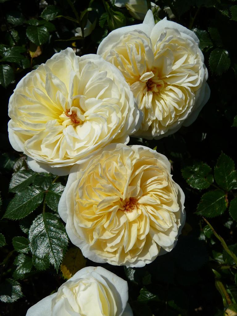 Rose n° 17, Concours international des roses nouvelles de Bagatelle 2012, Parc de Bagatelle, Bois de Boulogne, Paris 16e (75)