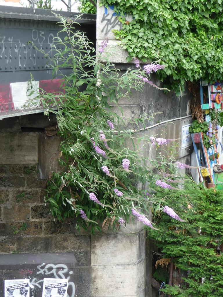 Buddléia accroché au pont de la Petite Ceinture au-dessus du quai de l'Oise, Paris 19e (75)