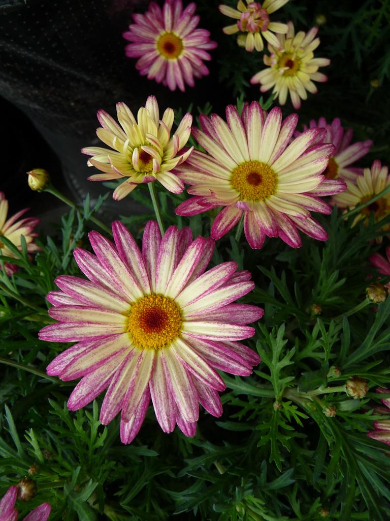 Anthémis (Argyranthemum), Monceau Fleurs, boulevard Henri IV, Paris 4e (75)