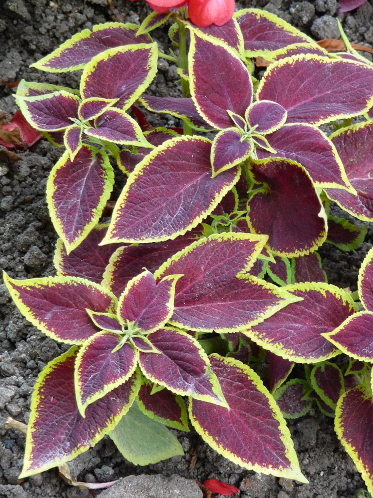 Coleus (Solenostemon) à feuillage pourpre et vert jaune fluo, jardin du Luxembourg, Paris 6e (75)