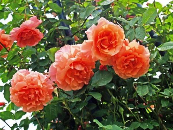 Rose Alibaba, grand prix de la rose SNHF 2012