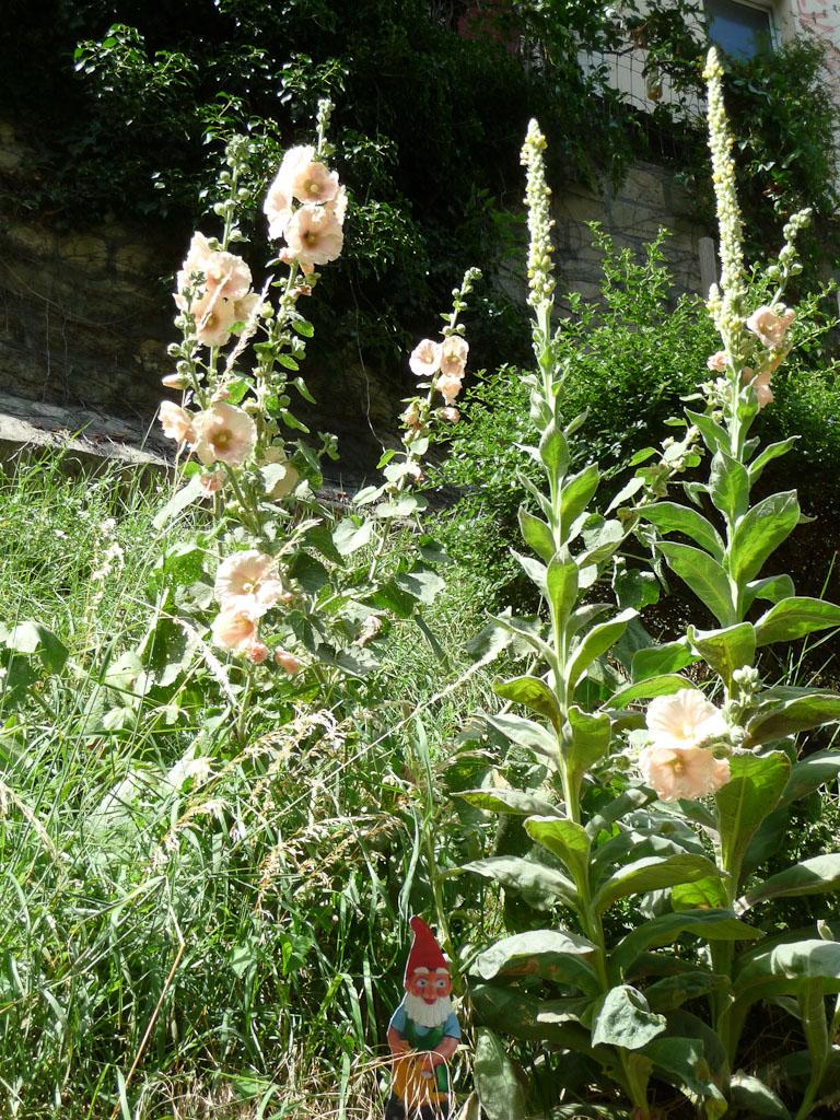 Grande rose trémière dans les Jardins du Ruisseau, Paris 18e (75)
