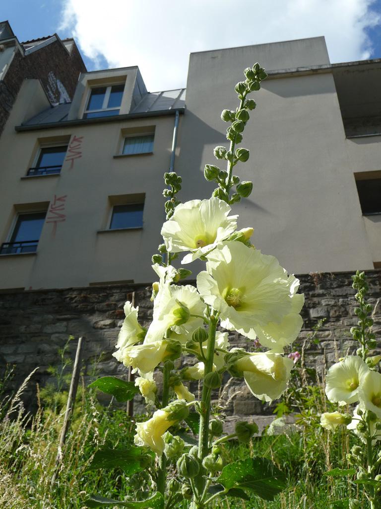 Rose trémière dans les Jardins du Ruisseau, Paris 18e (75)