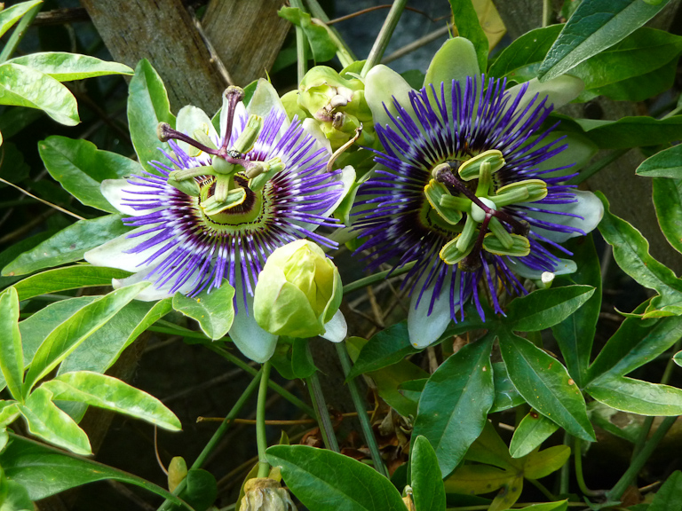 Fleurs de la passion, Passiflora caerulea, Jardins du Ruisseau, Paris 18e (75)