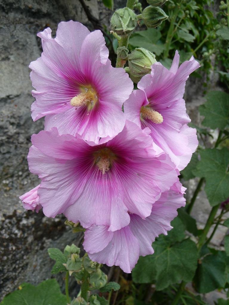 Rose trémière aux grandes fleurs simples rose pâle et foncé, rue Saint-Vincent, Butte de Montmartre, Paris 18e (75)