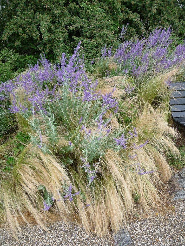 Massifs de stipes cheveux d'ange (Stipa tenuifolia) et de pérovskias dans le parc de Belleville, Paris 19e (75)