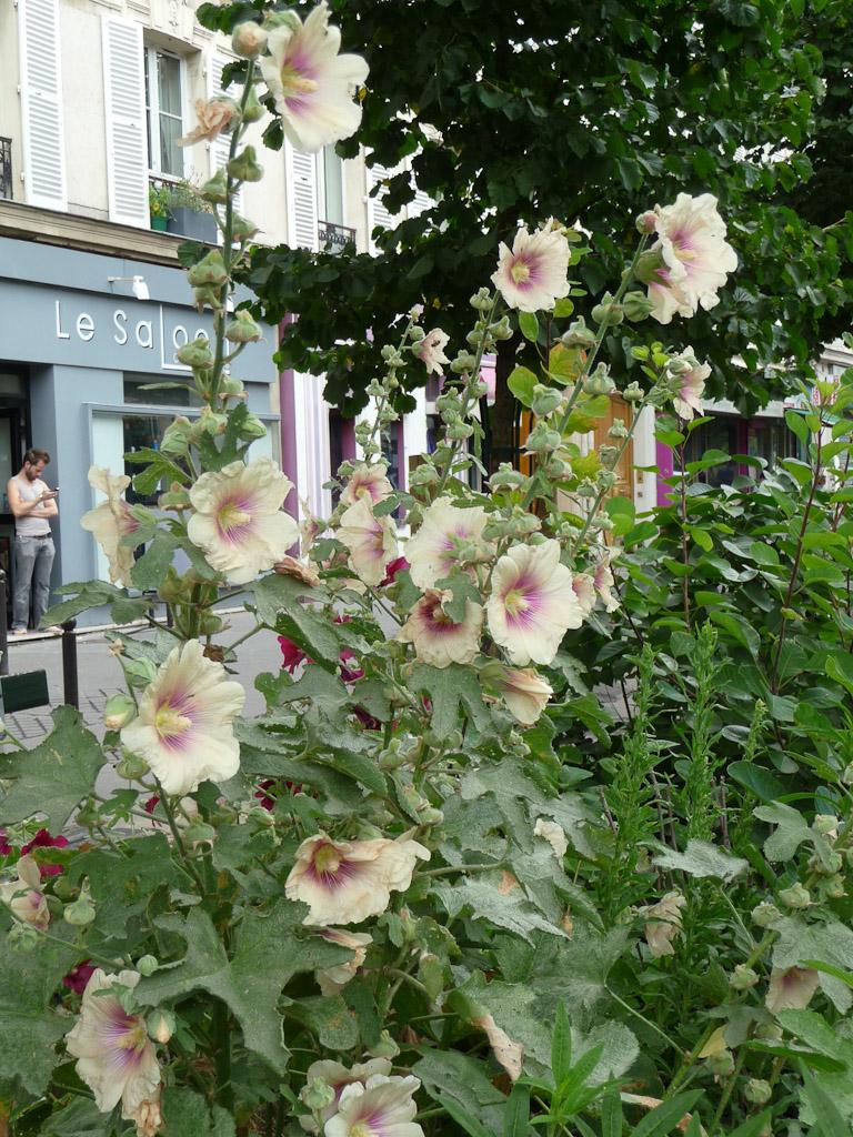 Rose trémière aux grandes fleurs simples café au lait et coeur pourpre, boulevard Voltaire, Paris 11e (75)
