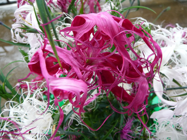 Potée d'oeillet de Chine (Dianthus chinensis 'Dancing Geisha'), Paris 19e (75)