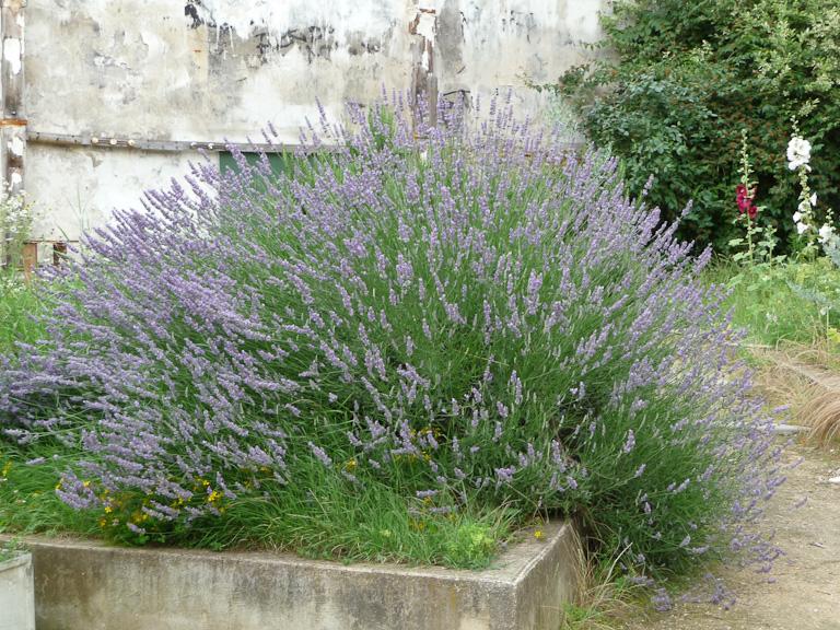 Grosse touffe de lavande fleuri dans le jardin partagé Un p'tit bol d'air, quai de l'Oise, Paris 19e (75)
