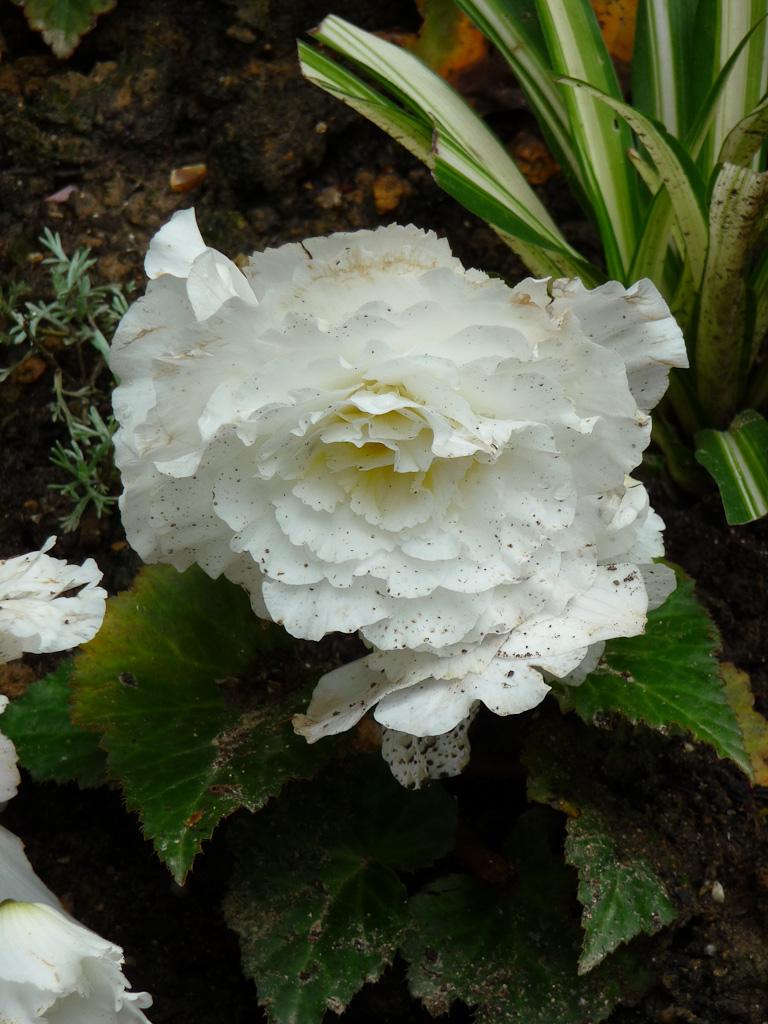 Bégonia tubéreux Non Stop à fleurs doubles blanches salies par les pluies répétées, parc des Buttes Chaumont, Paris 19e (75)