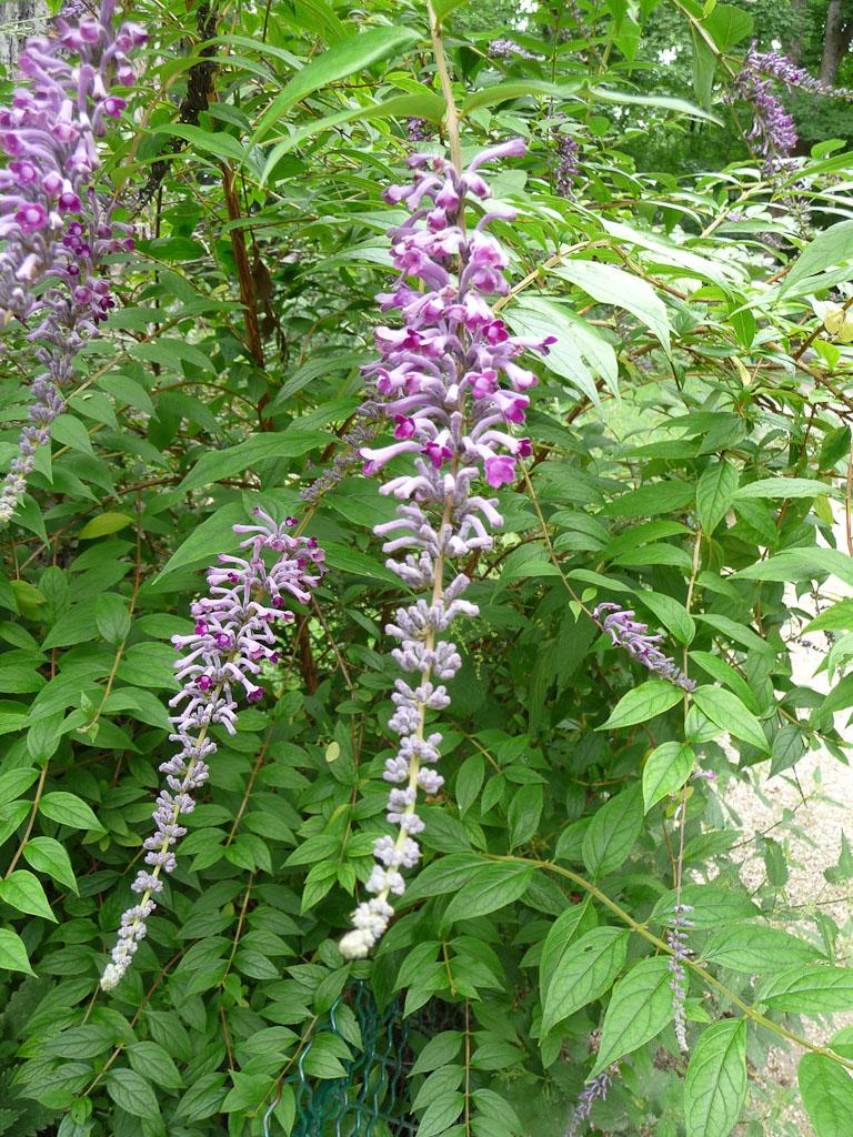 Buddleia lindleyana dans le parc des Buttes Chaumont, Paris 19e (75)