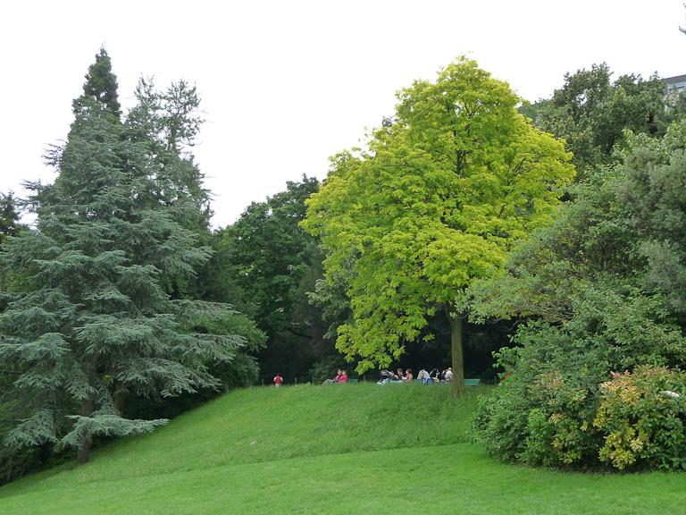 Acacia doré (Robinia pseudoacacia 'Frisia') dans le parc des Buttes Chaumont, Paris 19e (75)