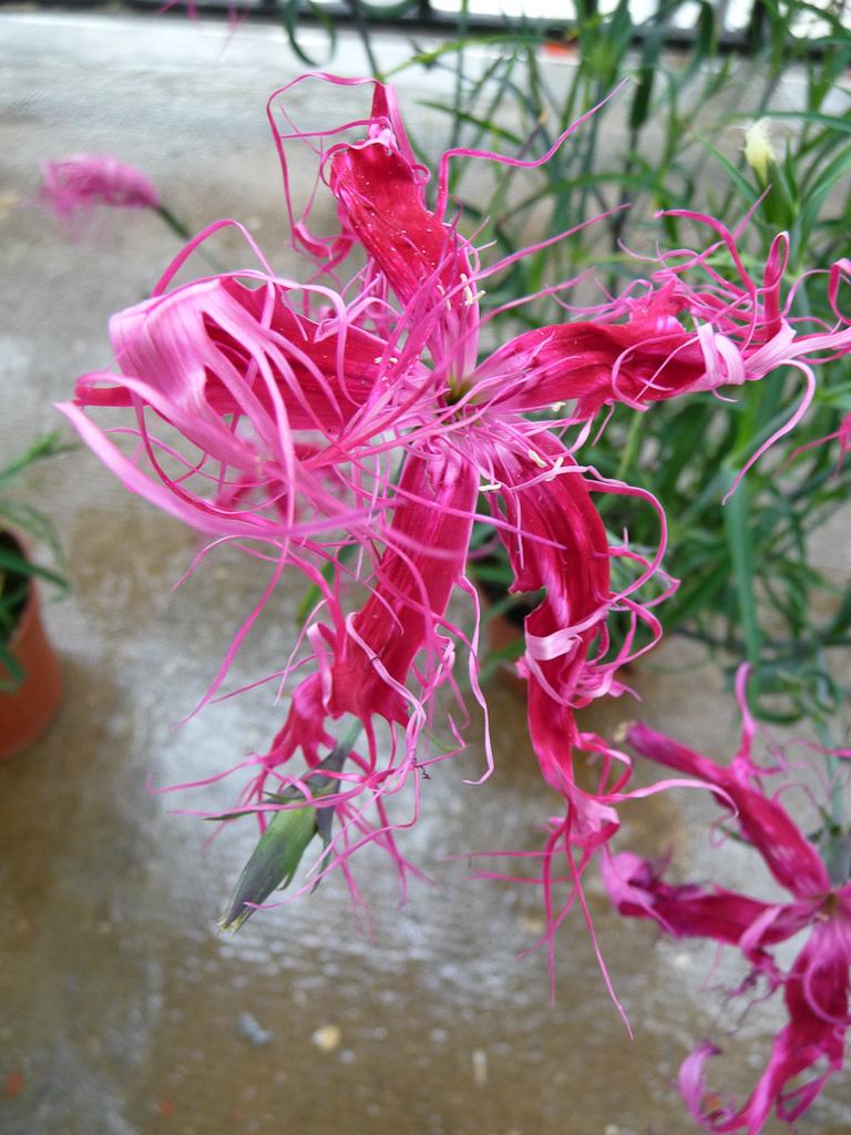 Oeillet de Chine (Dianthus chinensis 'Dancing Geisha') sur mon balcon en début d'été, Paris 19e (75)