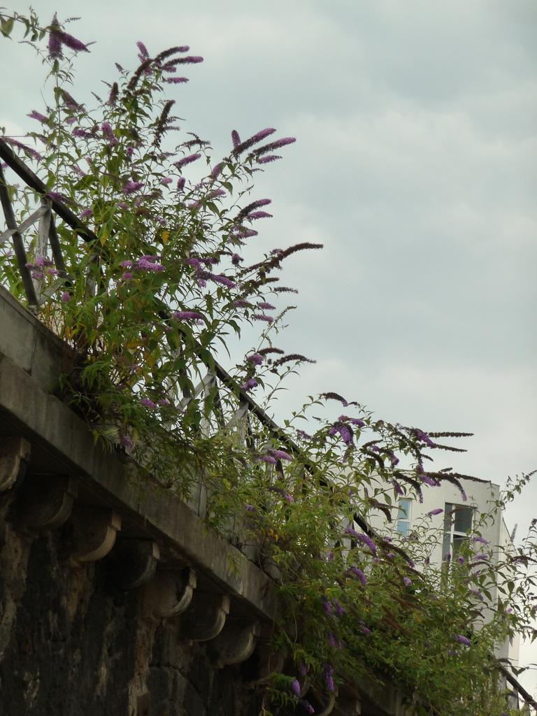 Semis spontanés d'arbres aux papillons (Buddleia davidii) le long du parapet de la Petite Ceinture, rue des Ardennes, Paris 19e (75)