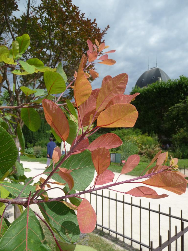 Nouvelle pousse d'arbre aux perruques (Cotinus coggygria), grande perspective du Jardin des Plantes de Paris en été, Paris 5e (75)