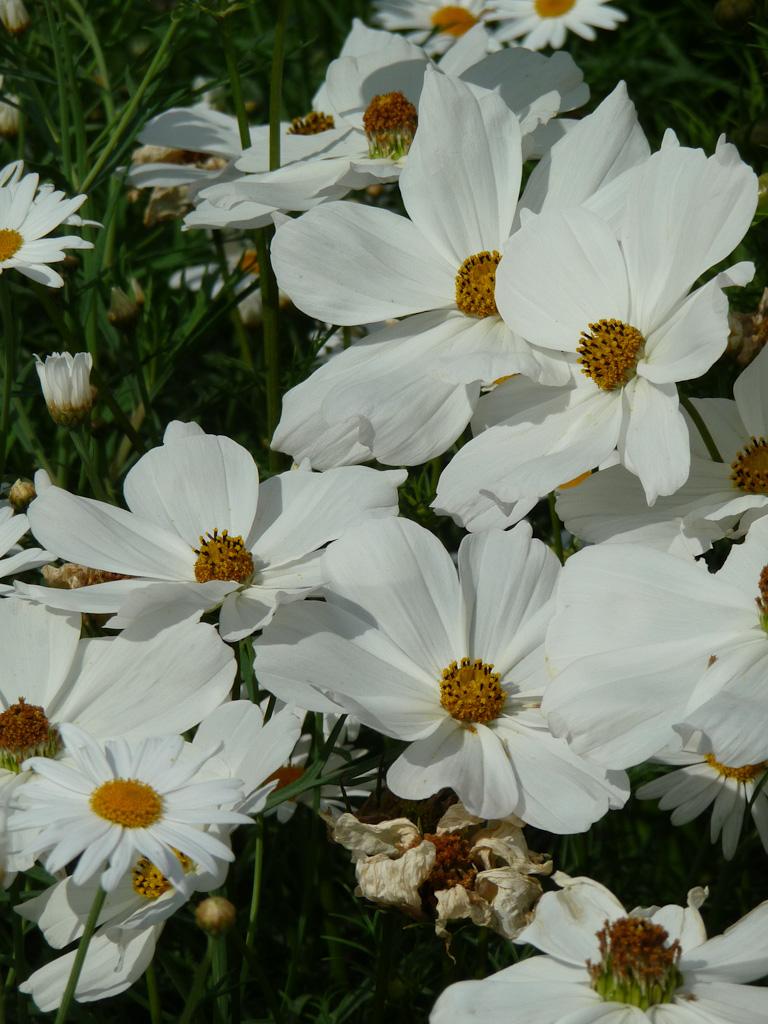 Cosmos blanc, grande perspective du Jardin des Plantes de Paris en été, Paris 5e (75)