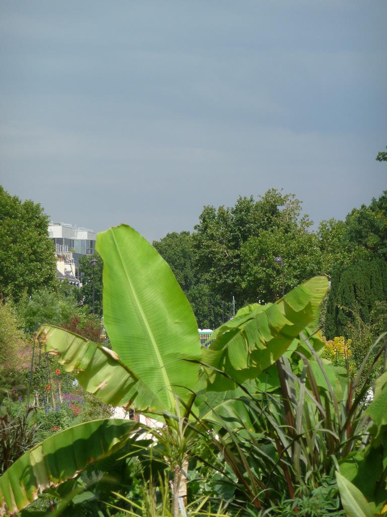 Ciel noir d'orage au-dessus d'un bananier dans la grande perspective du Jardin des Plantes de Paris en été, Paris 5e (75)