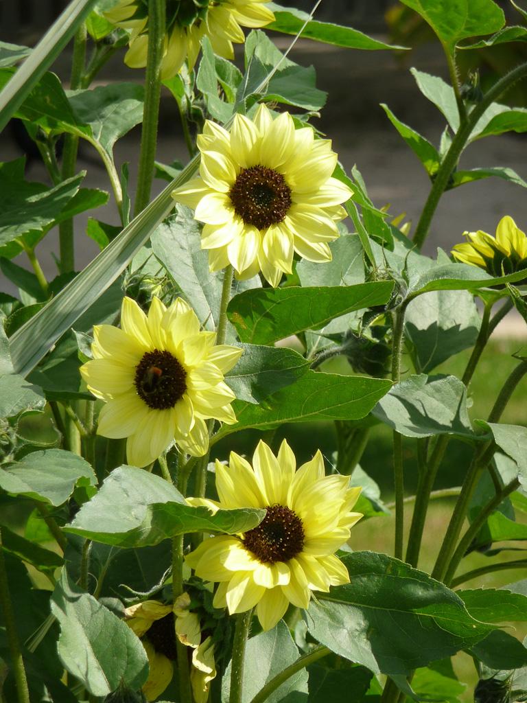 Tournesol à petites fleurs dans la grande perspective du Jardin des Plantes de Paris en été, Paris 5e (75)