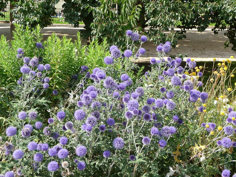 Boule azurée, Echinops ritro 'Veitch's Blue', grande perspective du Jardin des Plantes de Paris en été, Paris 5e (75)