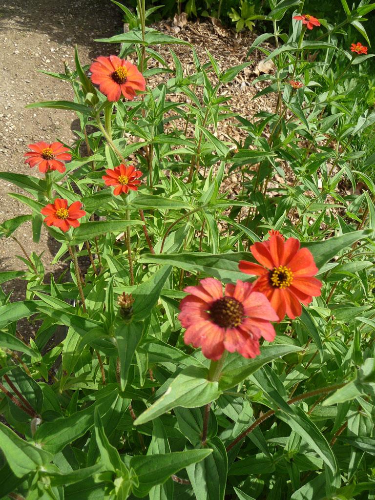 Zinnia peruviana, école de botanique du Jardin des Plantes de Paris en été, Paris 5e (75)
