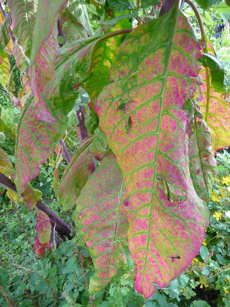 Feuillage d'un raisin d'Amérique, Phytolacca americana, Jardin des Plantes de Paris en été, Paris 5e (75)