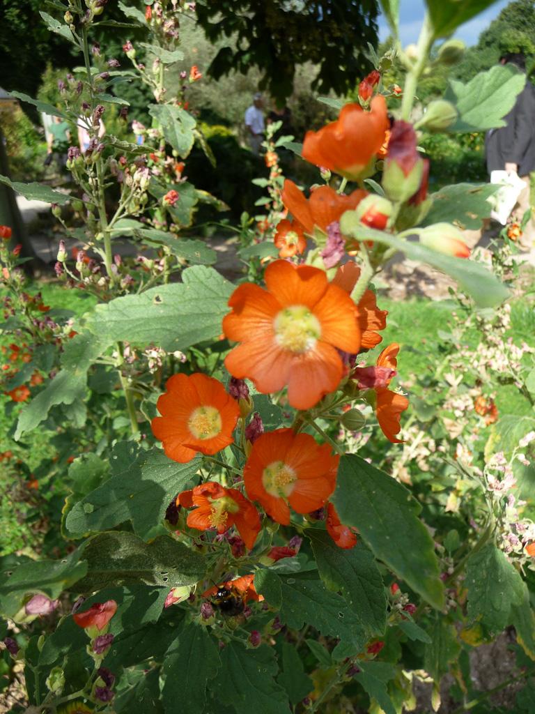 Sphaeralcea ambigua, Malvacées, école de botanique du Jardin des Plantes de Paris en été, Paris 5e (75)
