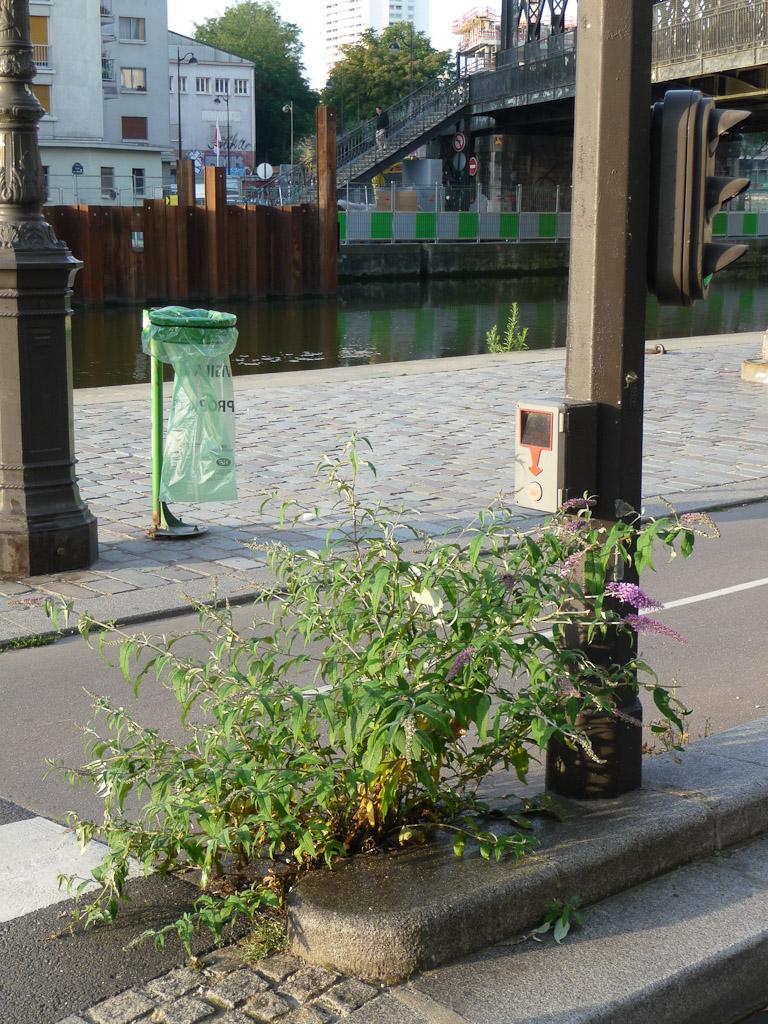 Arbre aux papillons (Buddleia davidii) au pied d'un feu tricolore le long du canal de l'Ourcq et du quai de l'Oise, Paris 19e (75)
