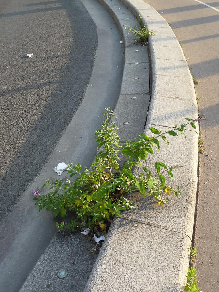 Semis spontané d'arbre aux papillons (Buddleia davidii) sur la margelle d'un trottoir, quai de la Gironde, Paris 19e (75)