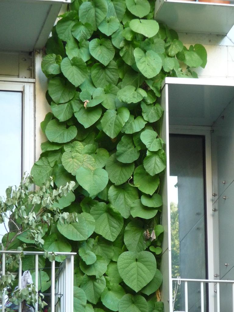 Mur végétal composé de grandes plantes grimpantes sur la façade d'un immeuble de l'avenue Jean Jaurès, Paris 19e (75)