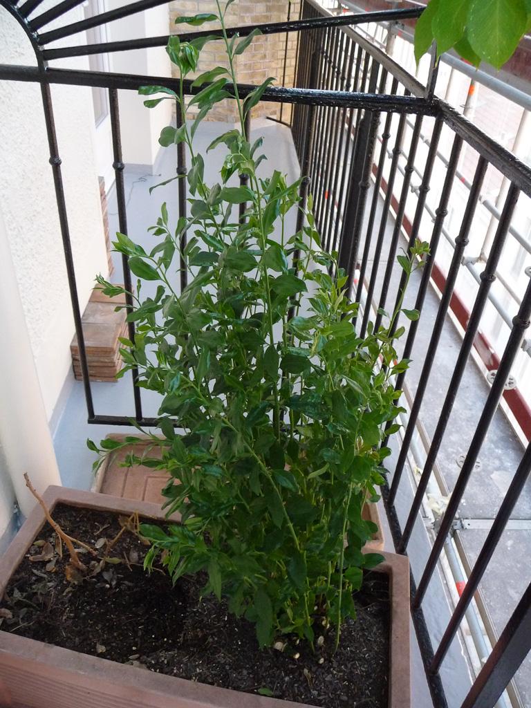 Sarcococca dans une jardinière; le retour progressif de mes plantes de la salle à manger au balcon, Paris 19e (75)