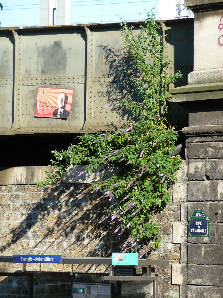 Arbre aux papillons (Buddleia davidii) accroché à un pont au-dessus d'un arrêt de bus dans la rue de l'ɉvangile, Paris 18e (75)