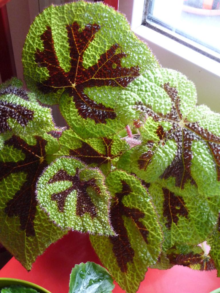 Begonia masoniana 'Croix de Fer', Bégoniacées, plante d'intérieur