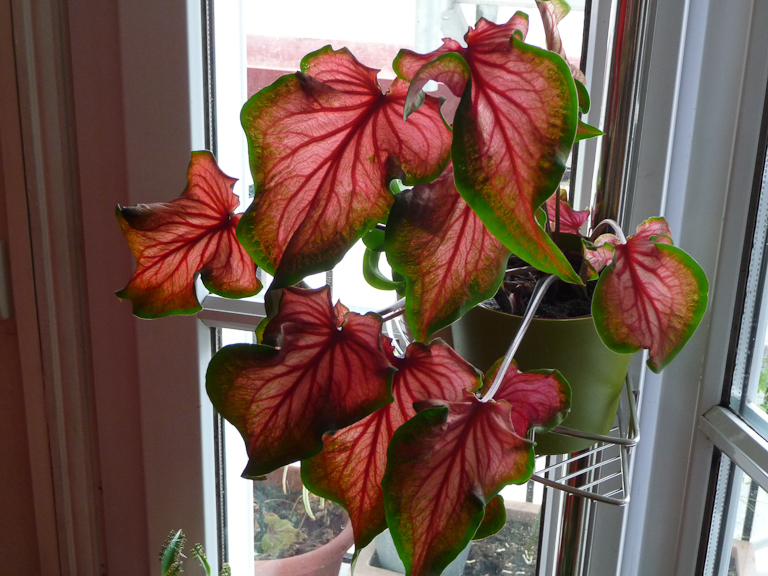 Caladium 'Red Ruffles', plante d'intérieur, Aracées